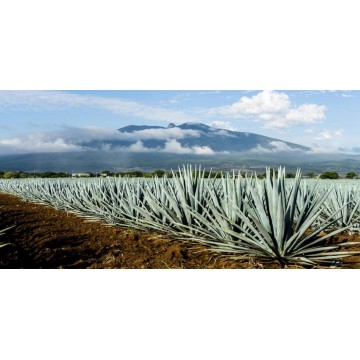 Blue Agave Photo License Plate