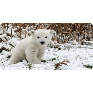 Baby Polar Bear Photo License Plate
