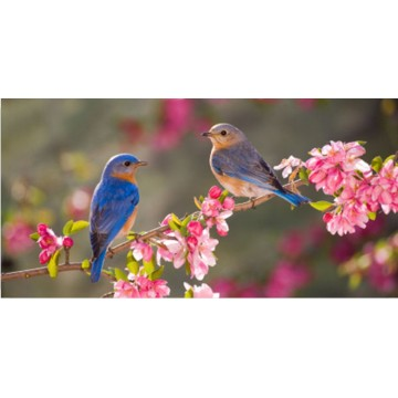 Blue Birds Sitting On Branch Photo License Plate