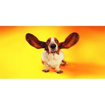Basset Hound Floppy Ears Photo License Plate