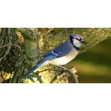 Blue Jay Perched Photo License Plate