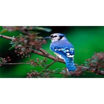 Blue Jay In The Bush Photo License Plate