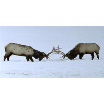 Two Elk Fighting Photo License Plate