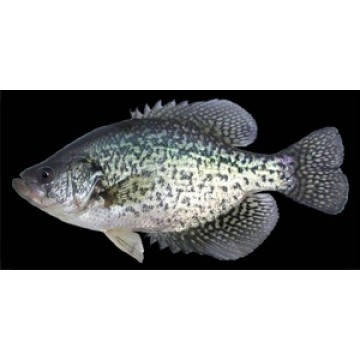 Crappie Fish On Black Photo License Plate