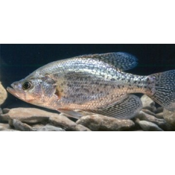 Crappie Fish Underwater Photo License Plate