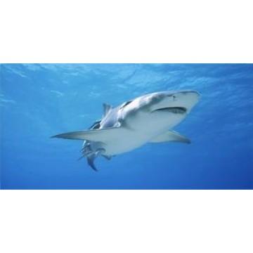 Great White Shark Photo License Plate